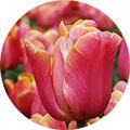 TulipanoRosa
